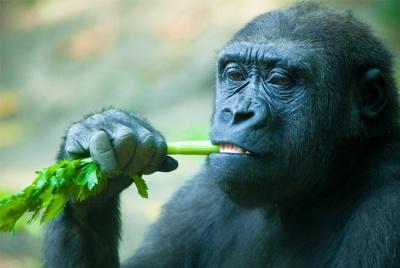 Наши предшественники - обезьяны были и есть вегетарианцы